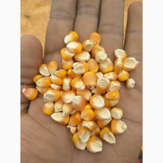Quality Yellow Corn
