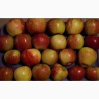 Куплю яблоки оптом урожай 2020