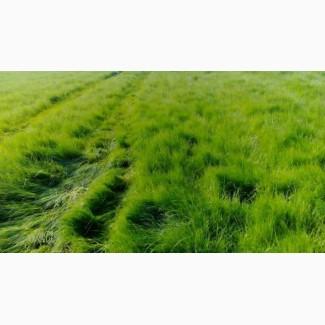 Семена кормовых и газонных трав