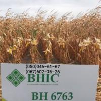 Насіння кукурудзи ВН 6763 (ФАО 320) ВНІС