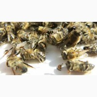 Настоянка бджолиного підмору