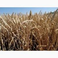 Продам посевной материал озимой пшеницы Таня (элита)