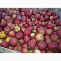 Закупівля яблуки на сік