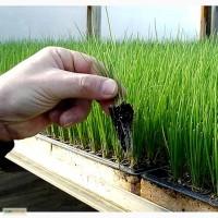 Вырастим рассаду лука и других овощей в кассетах. Недорого