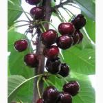 Саженцы черешни плодовые деревья, плодовые крупномеры черешни купить в Киеве