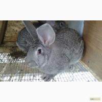 Продам кроликов советская шиншилла