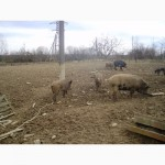 Продам свині мангали