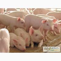 Продаю свині сорт біла українська