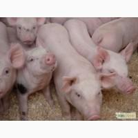Реализуем мясных поросят на постоянной основе ! (Петрен + Ландрас)