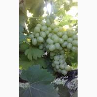 Продам виноград сорт Аркадия, ранний магарач