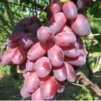Саженцы винограда сорт Ризамат