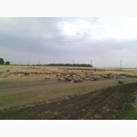 Продаю овець
