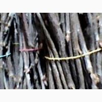 Черенки, живці чорної смородини, порічок, агрусу, йошти