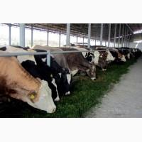 Куплю худобу від населення Київська область