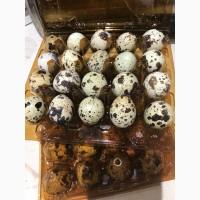 Яйця перепелиные