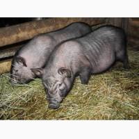 Поросята, свиньи