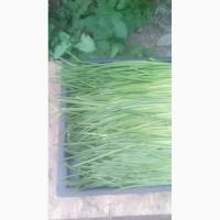 Продам лук зелёный перо