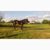 Продам породистого коня (мерин)