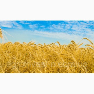 Канадская озимая пшеница Роял (new)