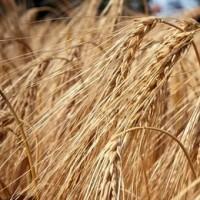 Семена ячменя озимого Скарпия-1реп (Заатен Юнион)