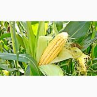 Семена кукурузы Серенада ФАО 280 (Селекта Сидс)