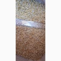 Семена ячменя ADDISON