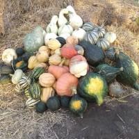 Акорновая (Acorn) тыква, которая может заменить картошку и батат