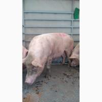 Продажа Выбраковку свиноматок 200-250 кг