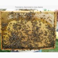 Продам бджолопакети, сотові, безсотові, бджолосімї українка, карпатка