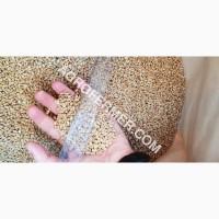 MASON - Мягкий канадский трансгенный озимый сорт (элита) пшеницы