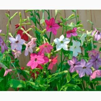 Продам семена Табак душистый (цветы)