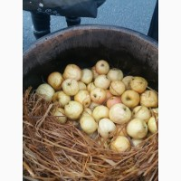 Продам квашені яблука