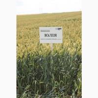 Посівний матеріал озимої пшениці ЮЛІЯ(1репродукція)