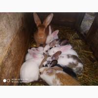 Кролі кролематки кроленята