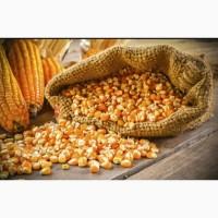 Купляємо кукурудзу нового урожаю 2021