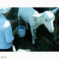 Продаю дойных коз, козочек, козлят.