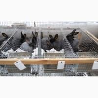 Продам кролів полтавське срібло