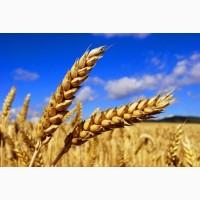 Продам пшеницю фуражну від виробників та менеджерів з продажу