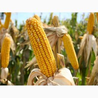 Семена кукурузы Подільський 274СВ