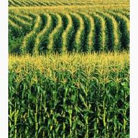 Закупаем Кукурузу фуражную.Постоянно