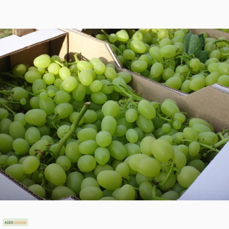 Продам столовый виноград, Запорожская обл.