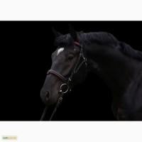 Продам лошадь Торс Диамант - 2014