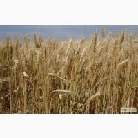Семена озимой пшеницы - Мирлена (элита)