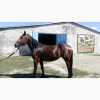Продам молодых лошадей двухлеток цена за кобылу 20 000 тысяч гривен, а жеребец 15 000