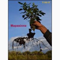 Реалізація саджанців малини сорту Maравілла на осінь 2017 р. НОВИНКА в ОРИГІНАЛІ