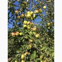 Продам Яблука голден флоріна джонаголд