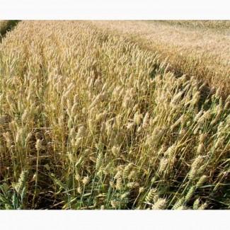 Продам насіння м#039;якої пшениці сорт Колоніа