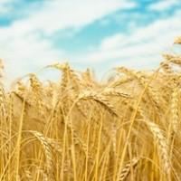 ПРОДАМ Пшеница БОГДАНА Элита, 1р. 7600 грн
