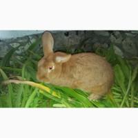Кролики новозеландські чистопородні. Продам терміново
