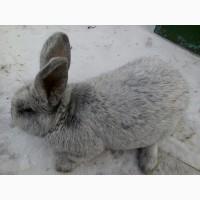 Продаю живою вагою 3-х місячних кроликів та поросних самиць породи бабочка+фландр